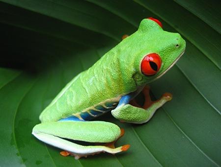 Lensbaby Spark: Costarican Frog