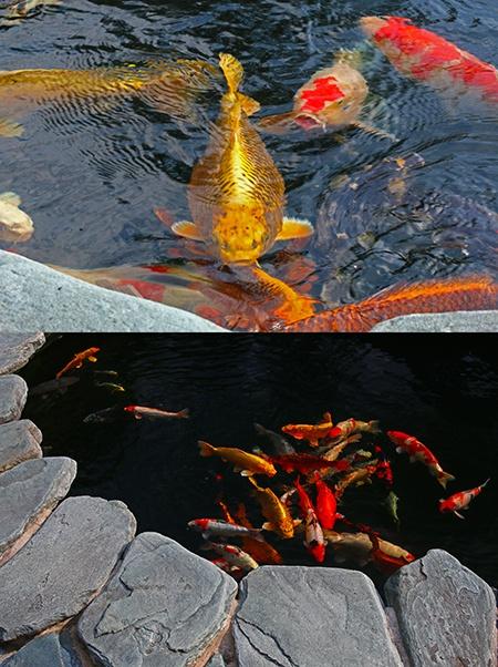 japonská zahrada V - rybky