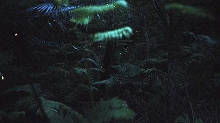 jeden snímek z Full HD videozáznamu světlušek Yaeyama-hime a okolní noční vegetace